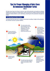 Tips for Proper Managing of Dairy Cows on Indonesian Smallholder Farms